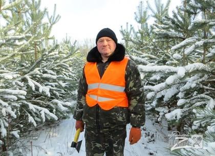 На Харьковщине рубят елки к Новому году