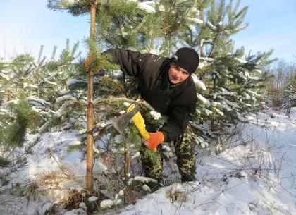Новогодние елки уже срублены и скоро приедут в Харьков (ФОТО, ЦЕНЫ)
