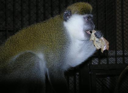 В Харьковском зоопарке обезьян блинами угостили