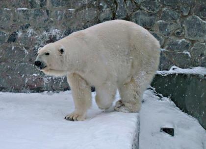 Сегодня отмечается Международный день полярного медведя