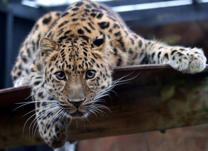 В Харьковском зоопарке появятся амурские леопарды