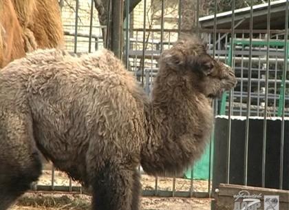 В Харьковском зоопарке родился верблюжонок (ФОТО)