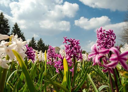 Гиацинты, нарциссы, тюльпаны и магнолии: В харьковском ботаническом саду буйство красок