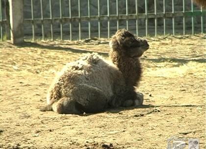 Верблюжонку из Харьковского зоопарка выбрали имя