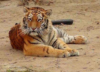 Хозяин «Тропы тигра» отмечает первый день рождения (ФОТО)