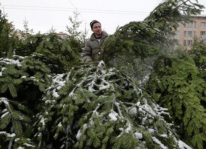С лесхозов области в Харьков отправят 21 тысячу новогодних красавиц