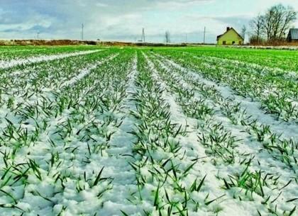 Эксперты прогнозируют хороший урожай озимых на Харьковщине