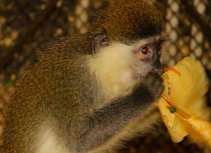 Как бегемот, обезьяны и лисицы в харьковском зоопарке Масленицу отмечали (ВИДЕО)