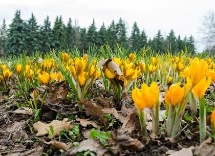 В харьковском ботаническом саду расцвели первоцветы (ФОТО)