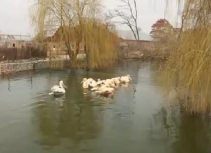 Пеликаны и бакланы харьковского зоопарка перебрались на летние «квартиры» (ВИДЕО)
