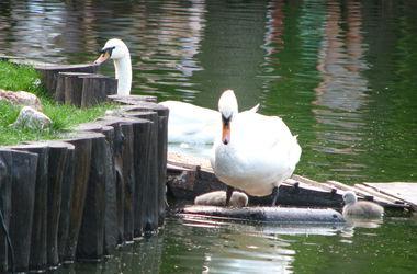 Лебеди из харьковского зоопарка отправились в летнюю «командировку» (ВИДЕО)