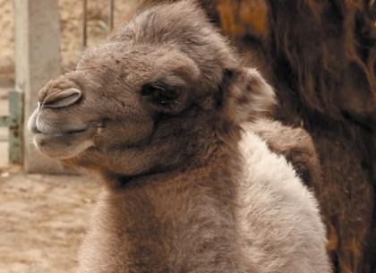 В Харьковском зоопарке родился верблюжонок (ВИДЕО, ФОТО)