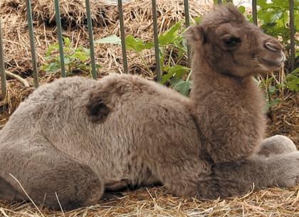 Харьковский зоопарк объявил конкурс на имя для верблюжонка