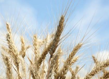 Урожай на Харьковщине начнут собирать со 2 июля