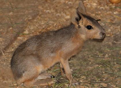 В Харьковском зоопарке расплодились патагонские зайцы (ВИДЕО)