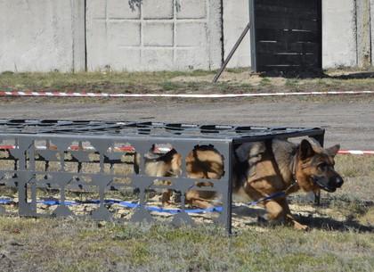 Харьковский Сапсан - лучшая собака-охранник в регионе