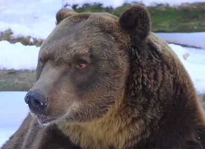 Зимние сны медведей в харьковском зоопарке (ФОТО ВИДЕО)