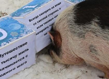 Кабанчики-предсказатели Харьковского зоопарка выбрали пожелание для харьковчан на 2019 год (ВИДЕО, ФОТО)