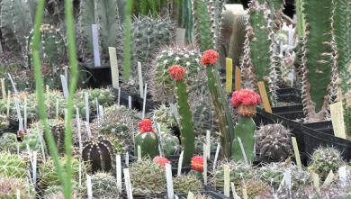 В Харьковском ботаническом саду начинают расцветать кактусы (ВИДЕО)