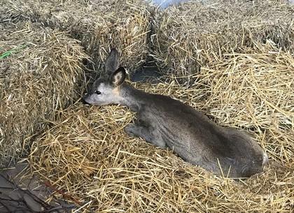 Сбитую в ДТП косулю выхаживают в Центре обращения с животными