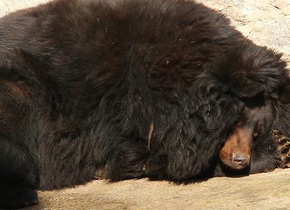 И бурые, и гималайские: в Харьковском зоопарке проснулись медведи (ВИДЕО, ФОТО)