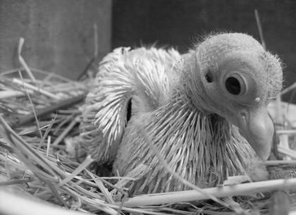 В Харькове спасают подброшенного птенца голубя (ВИДЕО)