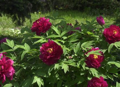 В Харьковском ботаническом саду зацвели древовидные пионы и рододендроны (ВИДЕО)