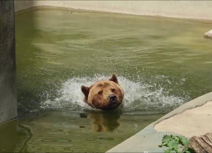 Водные заплывы, песочные ванны и необычный пломбир: как в зоопарке спасаются от жары (ВИДЕО)