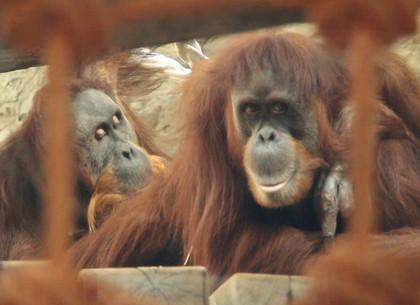 Паре орангутанов из Харьковского зоопарка сделали подарок к празднику (ВИДЕО, ФОТО)
