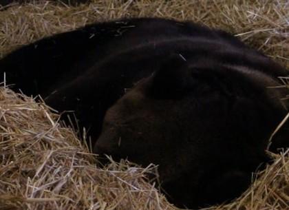 Харьковский зоопарк: теплая зима не давала медведям залечь в спячку