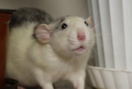 Крыса-предсказатель из Харьковского зоопарка сделала удивительный прогноз (ВИДЕО, ФОТО)