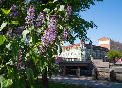 В Харькове цветет сирень (ФОТО)