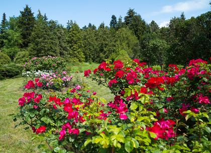 В Харьковском ботаническом саду массово цветут розы (ФОТО)