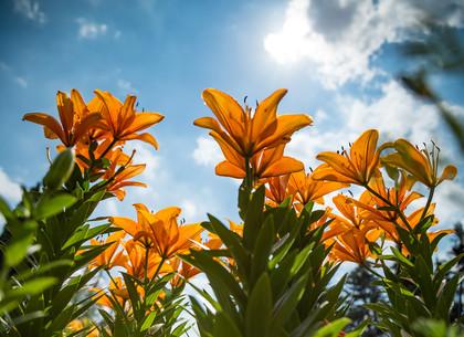 В Харьковском ботаническом саду расцвели лилии (ФОТО)