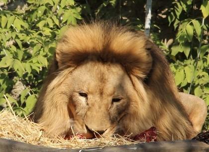 ВИДЕО: Лев Ричард отмечает день рождения (Зоопарк)