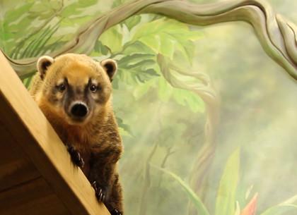 ВИДЕО: Носухи из Харьковского зоопарка осваивают новое жилье