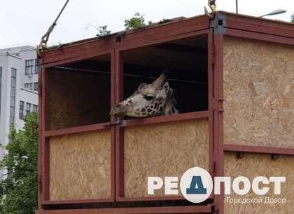 В Харьков привезли жирафа для зоопарка (ВИДЕО)