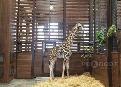 Жирафа, любящего музыку, привезли в Харьков из Одесского биопарка