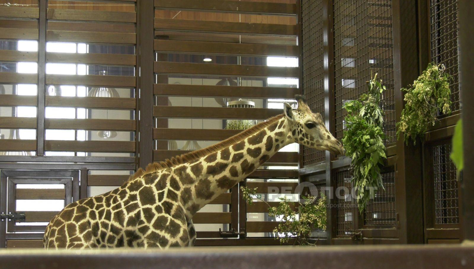 Жираф Дёма